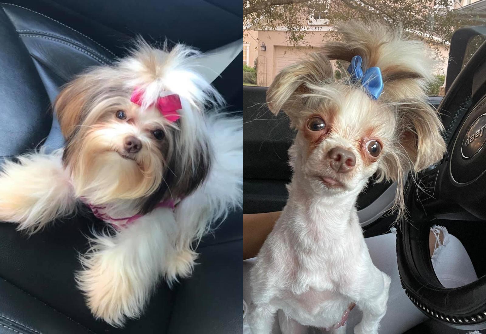 Питомец до и после стрижки. Фото © Twitter / REALBURTIIS