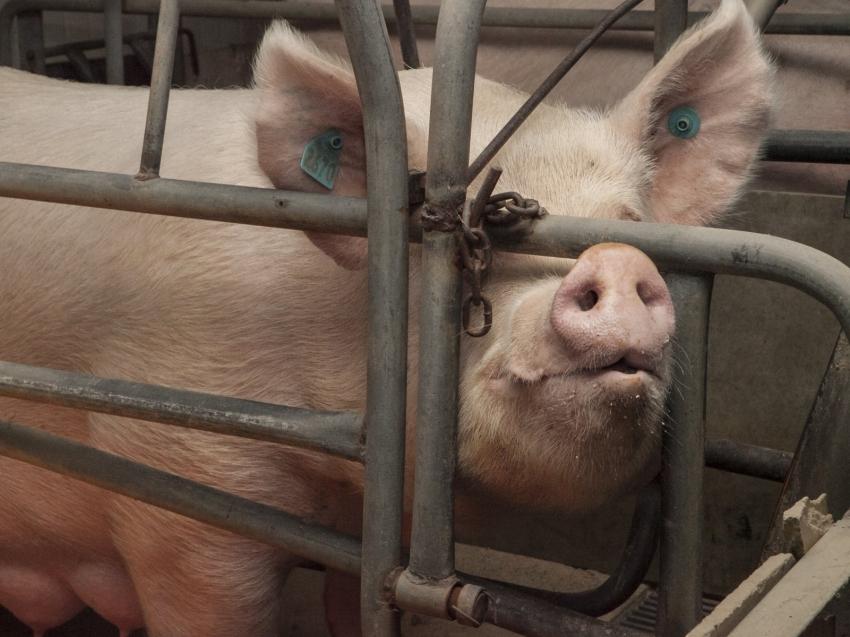В Чите из-за африканской чумы решили забить всех свиней