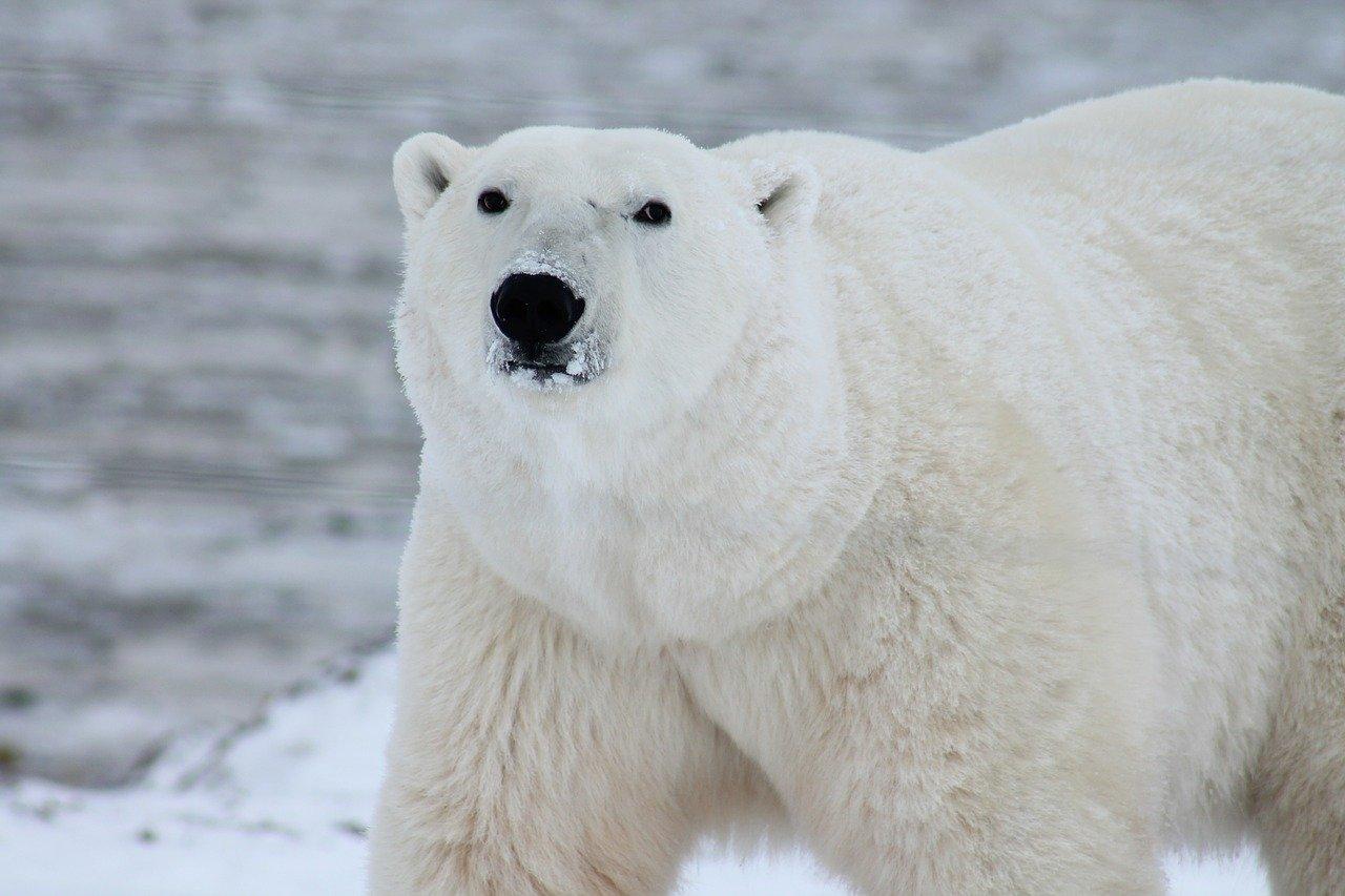 Шойгу рассказал, как белый медведь едва не сорвал манёвр ВМФ с синхронным всплытием атомных подлодок