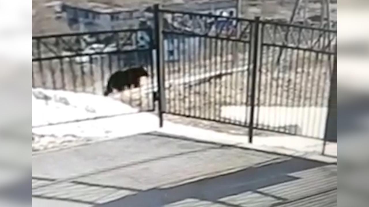 На Сахалине медведь прогулялся вокруг забора школы — видео