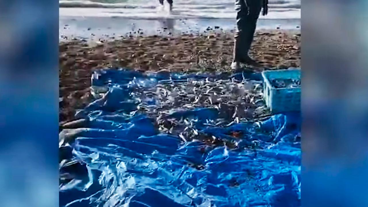 Грязная, но бесплатная: жители Сахалина голыми руками собирают рыбу у берега — видео