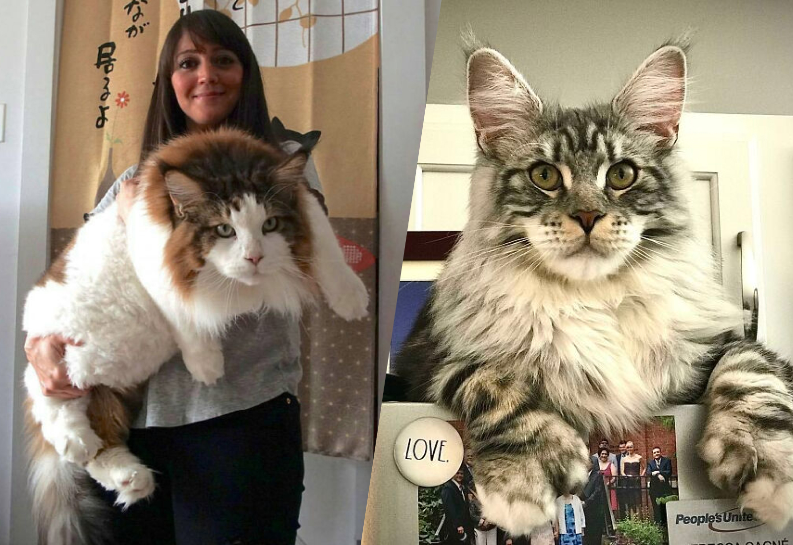 15 незаконно больших котов, которые не только умилят кого угодно, но и перепугают до чёртиков