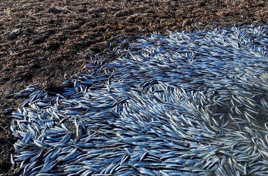 """""""Такого не было"""": в Приморье анчоусов массово выбросило на берег"""