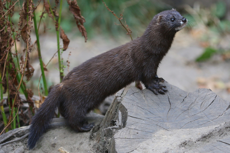 """<p>Фото © <a href=""""https://commons.wikimedia.org/wiki/File:European_Mink_at_Osnabr%C3%BCck_Zoo_02_cropped.jpg"""" target=""""_blank"""" rel=""""noopener noreferrer"""">Wikimedia Commons</a></p>"""