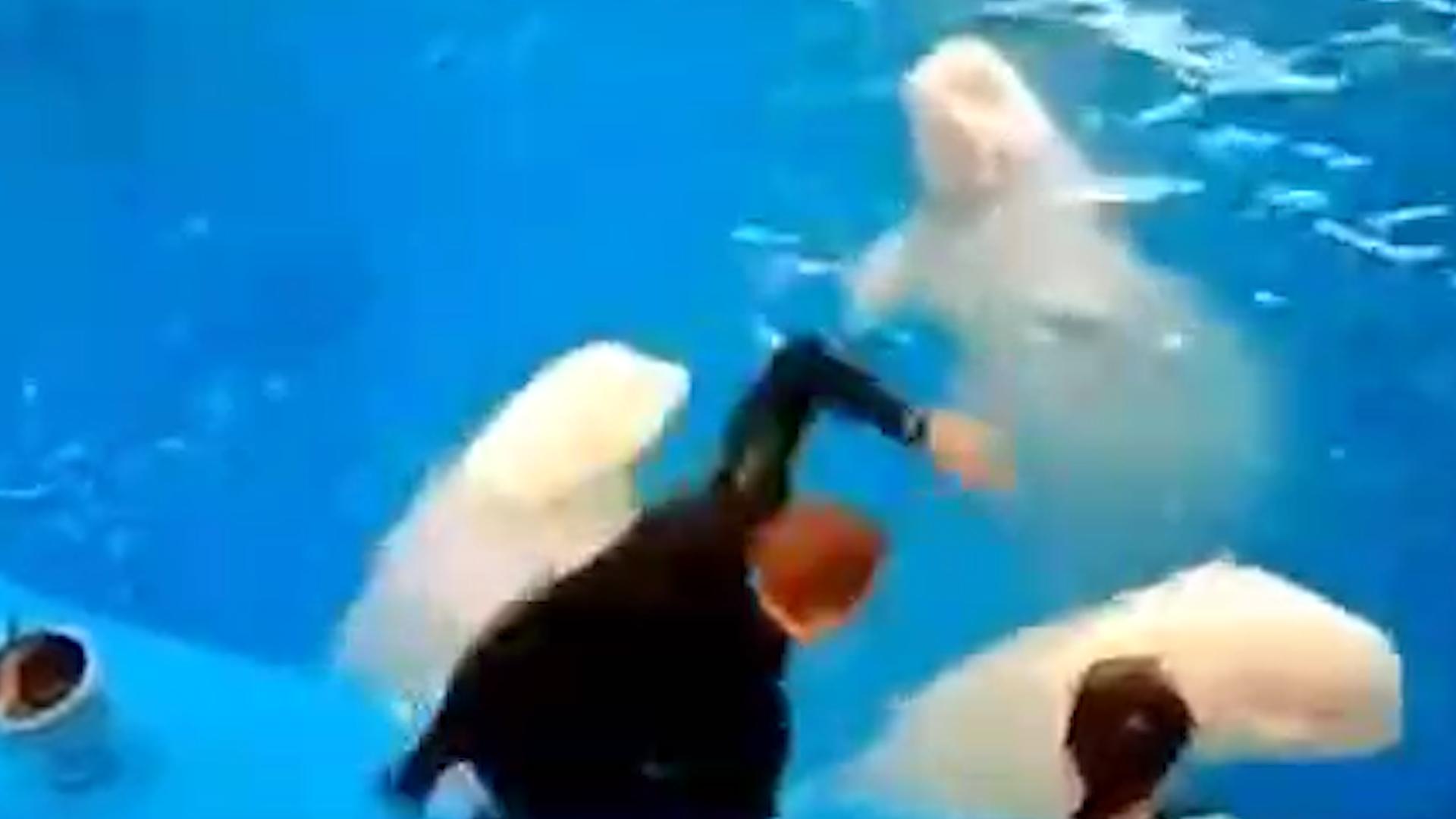 В Сети появилось видео избиения белух тренером Приморского океанариума