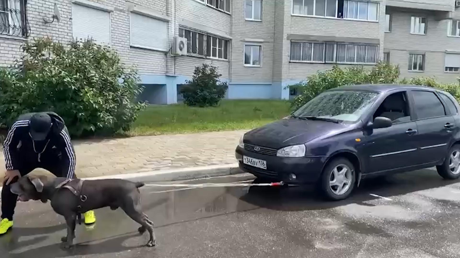 Пёс Фараон из Воронежа протащил машину весом более тонны и установил мировой рекорд