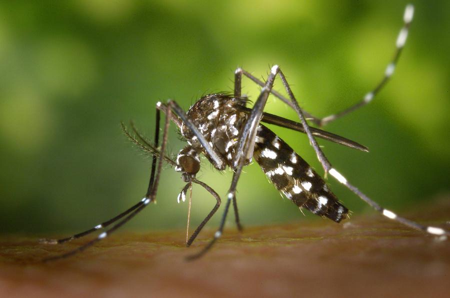 Комар Aedes albopictus. Фото © Getty Images / Smith Collection / Gado