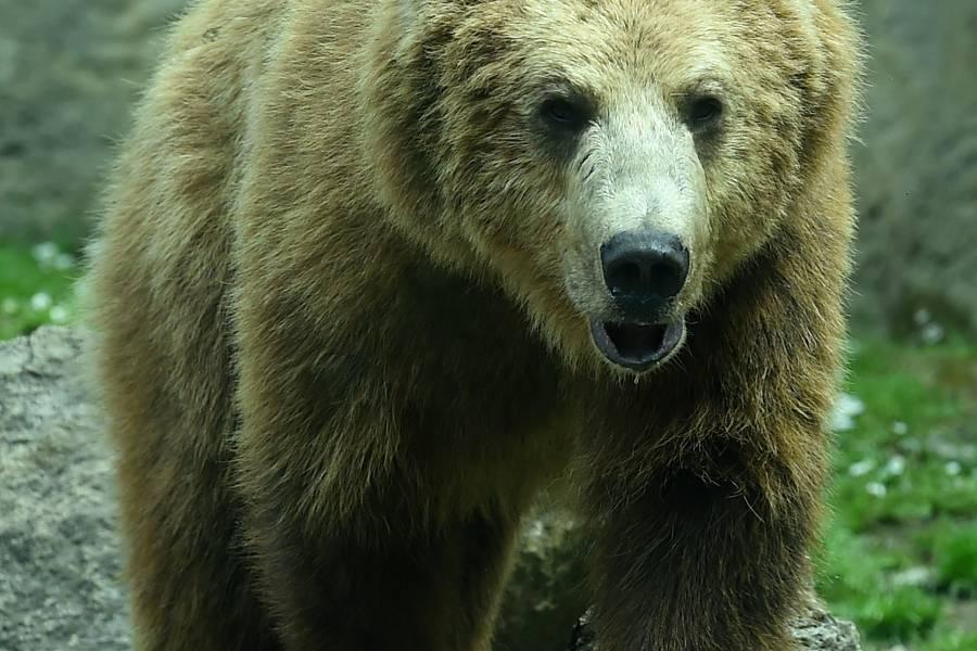 Загрыз подростка-носильщика: Лайф узнал детали нападения медведя-убийцы на туристов