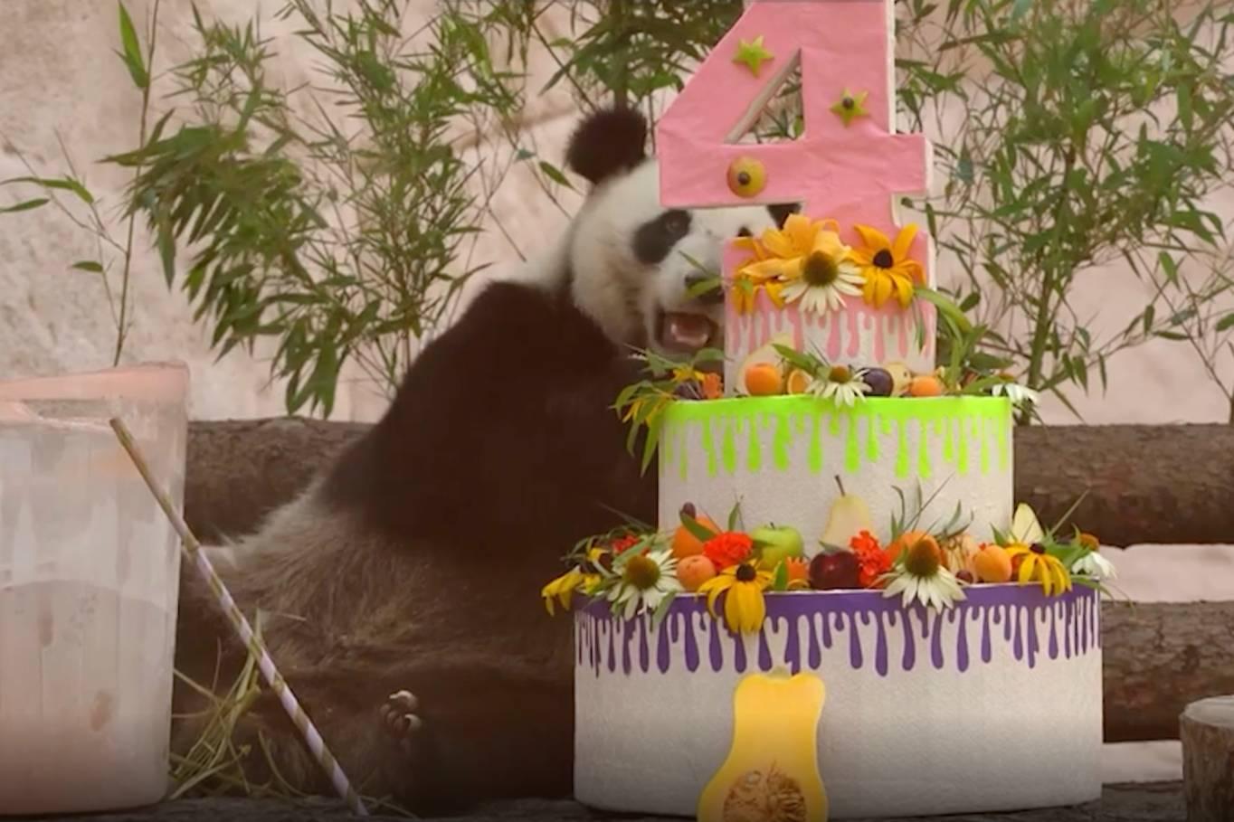 С тортами и подарками: В Московском зоопарке панды Жуи и Диндин отметили дни рождения