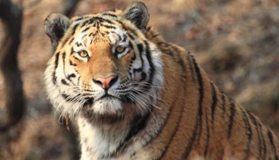 Одному из убийц тигра Павлика после рассмотрения апелляции ужесточили наказание. Фото © Instagram / va.orlov