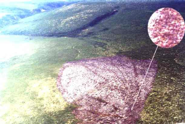 """Снимок с вертолёта локального вывала стланика — """"Гусиная лапа"""" (0,5 х 0,7 км) в районе взрыва Витимского болида. Фото © bourabai.kz"""