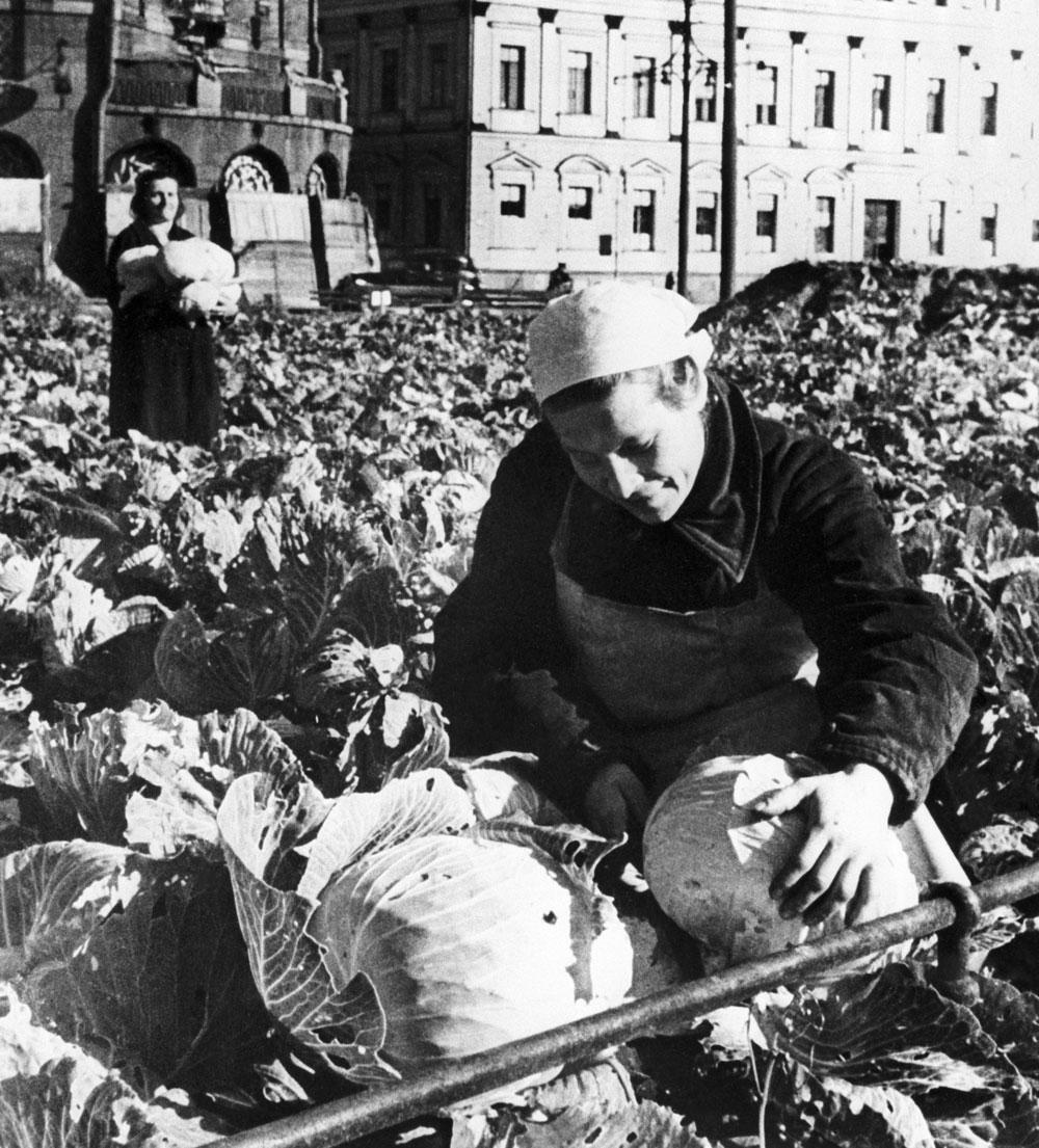 Ленинградцы спасали себя сами — 10 000 гектаров земли разбили под огороды. С них удалось собрать около 80 тысяч тонн картофеля. Но этого не хватало. Поэтому в  пищу могло идти всё — от пищевой целлюлозы до клея и кожи с ботинок и ремней. Фото©ТАСС / Трахман Михаил