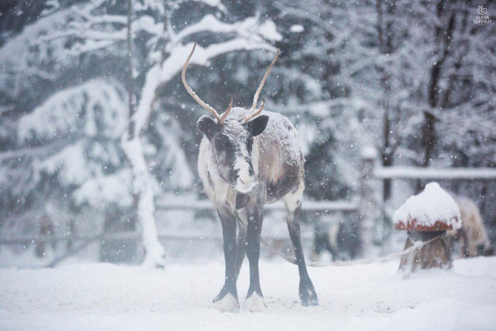 """Фото ©Vk.com / Заповедник северных оленей """"Лесная избушка"""""""