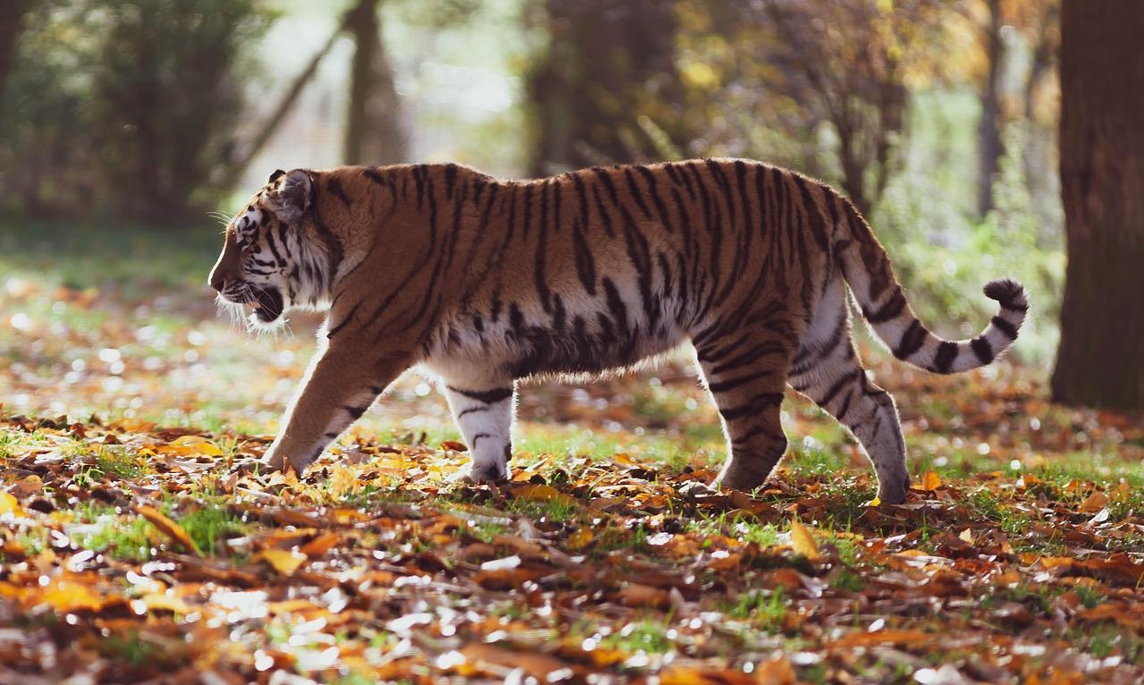 Тигр красивый, быстрый и крупный зверь Фото © Pixabay