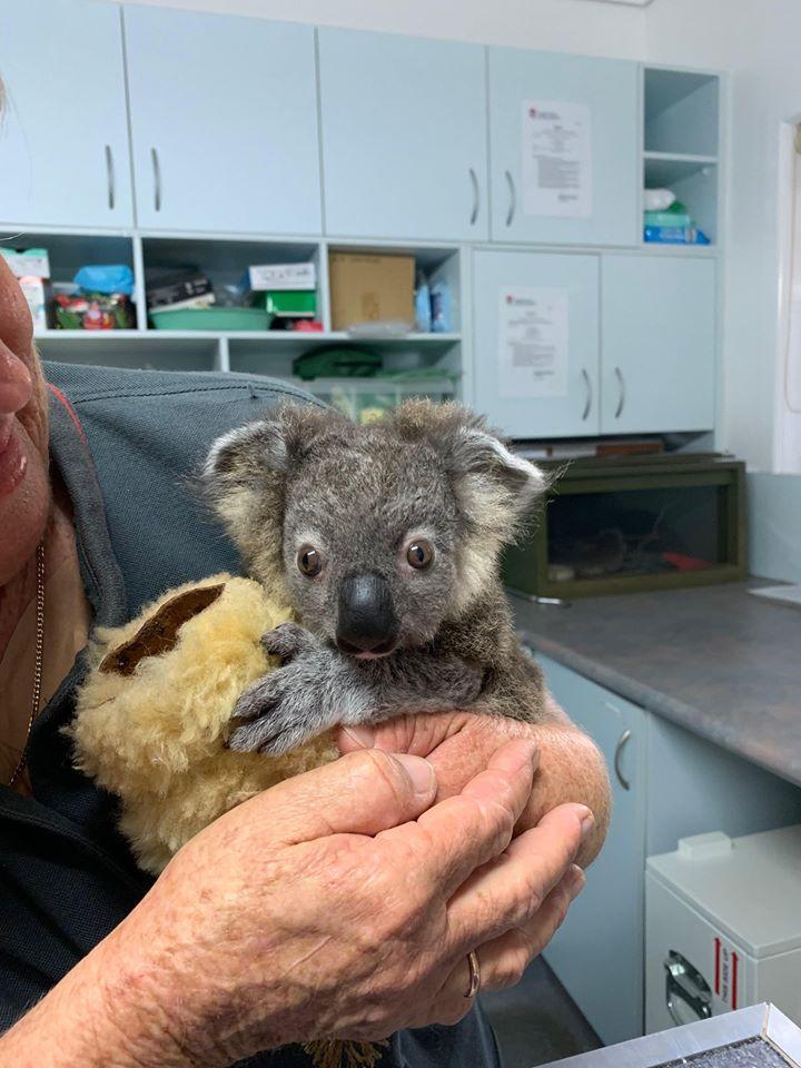 Фото © Koala Hospital Port Macquarie