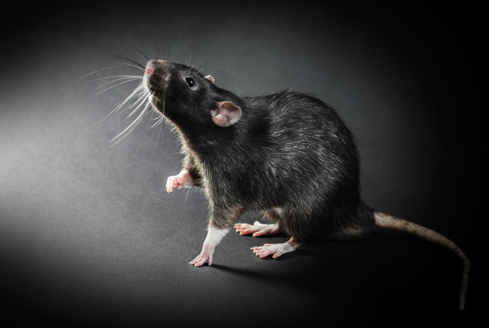 Чёрная крыса— переносчик чумы. Фото ©Shutterstock