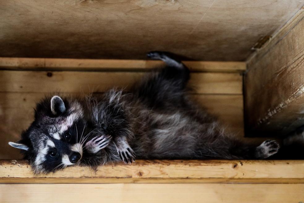 В Московском зоопарке проснулись еноты