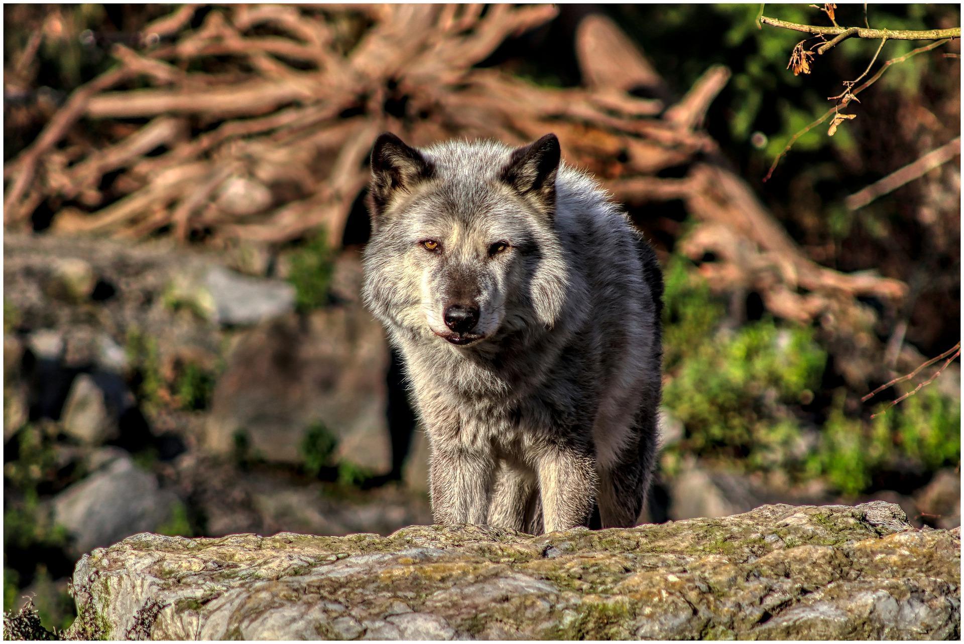 В Смоленской области бешеная волчица покусала трёх человек